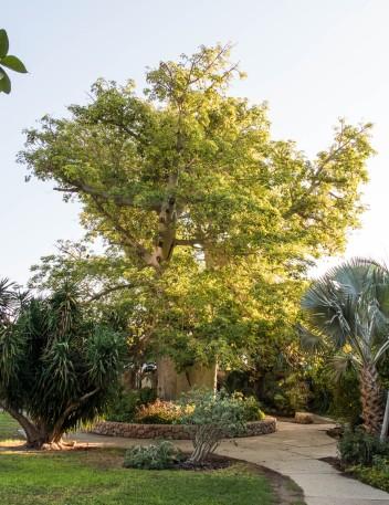 A baobab tree in the gardens of Ein Gedi